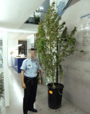 Roba una planta de marihuana de 3 metres i el detenen quan se la volia endur amb bus