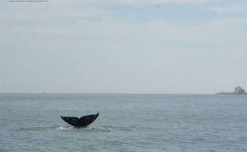 Avistado un ejemplar de ballena casi extinta frente a la costa de Barcelona