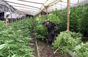 800 plantas de marihuana