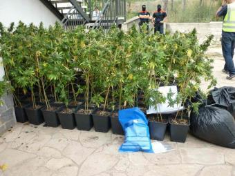 Incautadas 500 plantas de marihuana