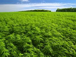 descubierta plantaciones de marihuana