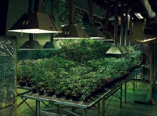 La crisis económica provoca un 'boom' en el cultivo doméstico de la marihuana