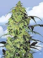Campeones de la Cannabis Cup 2010