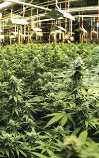¿Cómo surge Cannabis por la Educación?