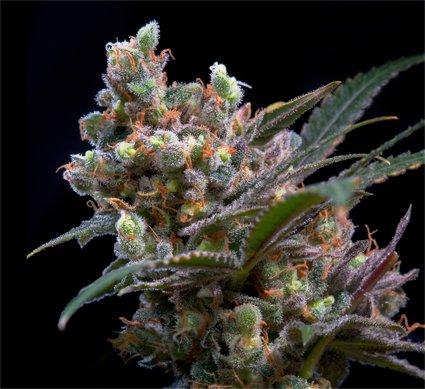 Historia de la criminalización de una planta de la marihuana