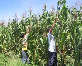 El maíz sube más rápido que el petróleo